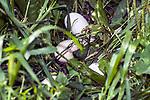Blue Slate Turkey clutch of 30 eggs hidden in grass