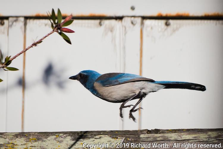 A California Scrub-Jay takes flight from a backyard fence near San Francisco Bay