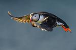 Atlantic Puffin (Fratercula arctica) in flight. Isle of Lunga, Treshnish Isles, Isle of Mull, Scotland.