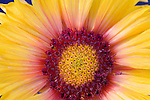A close up of the Blanket Flower in full bloom in a Montana National Forest