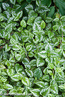 Lamium galeobdolon, archangel groundcover, variegated low growing perennial