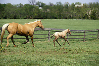 Mare and foal registered quarter horses Running in field