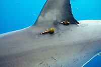 great white shark, Carcharodon carcharias, with two satellite tags attached below dorsal fin to record the shark's movements, relaying data to researchers via satellite, Guadalupe Island, Mexico, Pacific Ocean