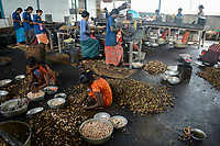 INDIA, Karnataka, Moodbidri, cashew processing factory, imported nuts from africa are processed for export, women crack and core raw nuts / INDIEN, Fabrik fuer Verarbeitung von aus Afrika importierten Kaschunuessen, Frauen knacken und schälen die rohen Nuesse