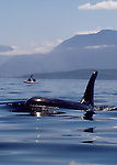 Orca whale, sea kayakers, Inside Passage, Johnstone Strait, Vancouver Island, British Columbia, Canada, North America, Northern resident pod, Orcinus orca, Note: sea kayakers have been moved within the image..