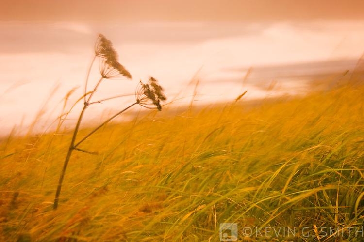 Cow parsnip and beach grass with waves breaking on beach, fall storm, blured motion, Cape Chiniak, Kodiak Alaska,USA