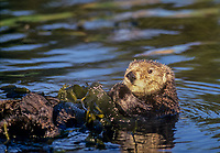 Southern Sea Otter (Enhydra lutris) wrapped in kelp.  California Coast.  Wrapping in kelp helps resting otter from drifting with tides or current.
