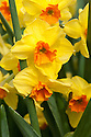 Daffodil (Narcissus 'Martinsville'), a Division 8 Tazetta variety, mid February.