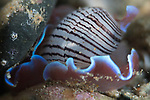 Hydatina physis, Brown-lined paperbubble, Headshield slug, Aplustridae, very bashful, and sensitive to light, known as bubble shelled