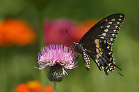 The (Eastern) Black Swallowtail (Papilio polyxenes), also called the American Swallowtail or Parsnip Swallowtail.
