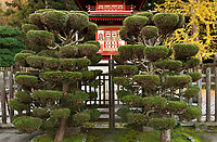 Pruned trees in Japanese Tea Garden, Golden Gate Park, San Francisco