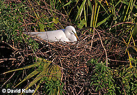 0314-0849  Great Egret Tending Eggs in Nest, Displaying Breeding Plumage, Ardea alba © David Kuhn/Dwight Kuhn Photography