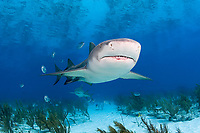 Lemon shark, Negaprion brevirostris, Little Bahama Bank, Bahama Islands, Bahamas, Caribbean, Atlantic