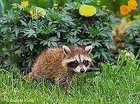 MA21-028x Raccoon - young animal exploring - Procyon lotor
