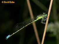 0826-06qq Eastern Forktail Damselfly - Male - Ischnura verticalis - © David Kuhn