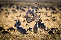 A sndhill crane performs a courtship dance at Monte Vista National Wildlife Refuge in Colorado's San Luis Valley. The refuge is a staging area for thousands of sandhill cranes as they make their spring migration back to their nesting grounds farther north. At this time of year, their courtship behavior is in full swing.
