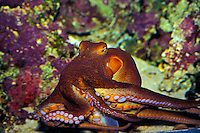 A Hawaiian Day octopus shows its powerful suckers as it glides across its tank at the Waikiki Aquarium, Kapiolani Park, Waikiki, Oahu.