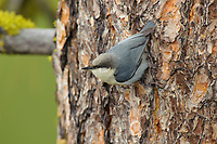 Pygmy Nuthatch (Sitta pygmaea) on ponderosa pine. Yakima County, Washington. May.