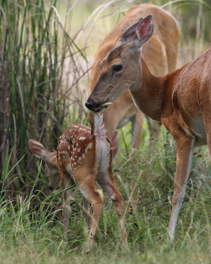 A Baby 'Tale', although there's not much left to the imagination here :)<br /> Fun to watch, the mom would lift the fawn up into the air slightly, as she groomed it..