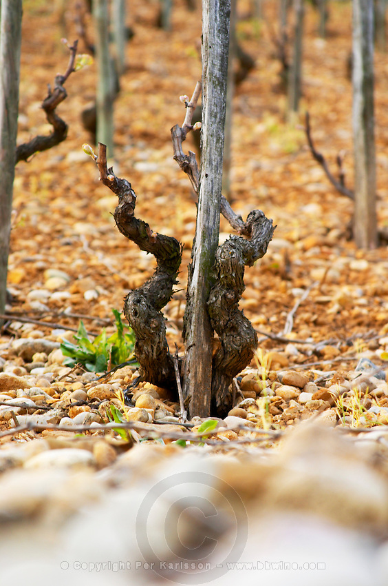 An old Syrah vine. The Hermitage vineyards on the hill behind the city Tain-l'Hermitage, on the steep sloping hill, stone terraced. Sometimes spelled Ermitage. Tain l'Hermitage, Drome, Drôme, France, Europe