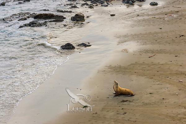 Female California sea lion (Zalophus californianus) resting along Central California beach.