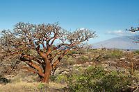Sunlit wiliwili trees on Maui.