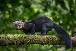 Ecuador, Andean cloud forest, tayra (Eira barbara)