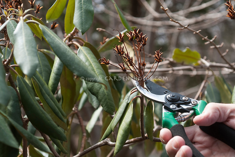 Pruning rhododendron broad leaved evergreen, showing hand and pruners tool