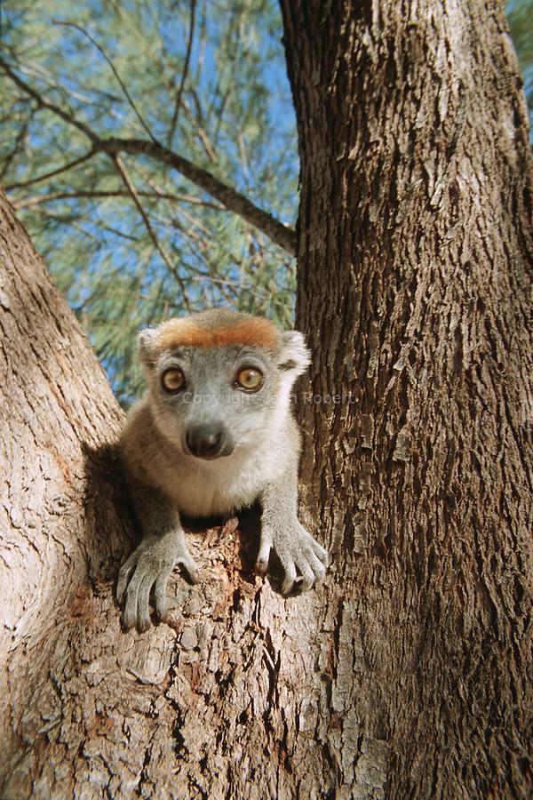lemurs couronnes (Eulemur coronatus) a la tete cerclee d'orange. Les femelles portent une livree grise alors que les males  arborent de grosses joues rousses,  dos et pattes brun oranges.