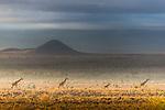 Masai giraffes, Amboseli National Park, Kenya