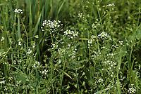 Hirtentäschelkraut, Hirtentäschel-Kraut, Hirtentäschel, Capsella bursa-pastoris, Shepherd´s Purse