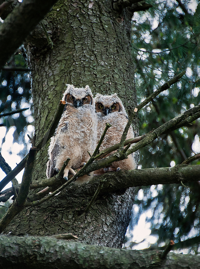 Great Horned Owls young at apx. six weeks, New Jersey, USA