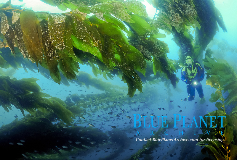 Female scuba diver swimming through kelp forest on a sunny day, Macrocystis pyrifera, Catalina Island, CA, Pacific Ocean, MR