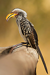 Southern Yellow-billed Hornbill (Tockus leucomelas) female, Kruger National Park, South Africa