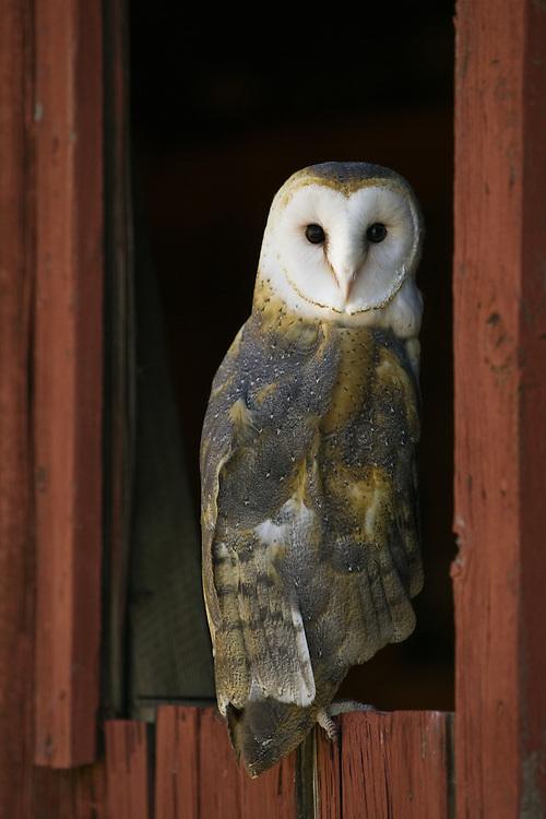 Barn Owl (tyto alba) looking back from an old barn window