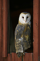 Barn Owl (tyto alba) looking back from an old barn window