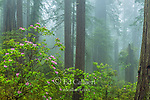 Rhododendron Bloom, Coastal Fog, Damnation Creek, Del Norte Redwoods State Park, Redwood National and State Parks, California
