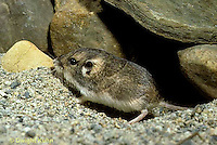 MU31-050z  Silky Pocket Mouse - coming out of shelter under rocks, camouflaged -  Perognathus flavus