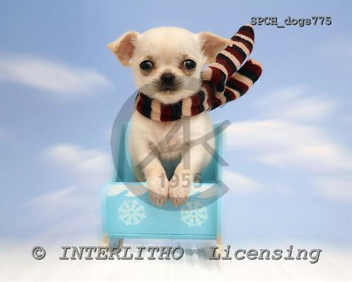 Xavier, ANIMALS, dogs, photos, SPCHdogs775,#A# Hunde, perros