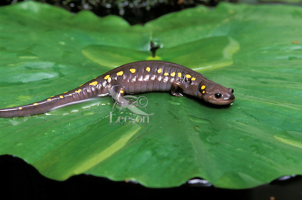 SPOTTED SALAMANDER/Yellow-spotted Salamander..Southern Ontario, Canada..(Ambystoma maculatum).