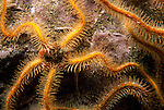 Santa Cruz Island, Channel Islands, California; Western Spiny Brittle Star (Ophiothrix spiculata) , Copyright © Matthew Meier, matthewmeierphoto.com All Rights Reserved