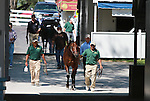 September 08, 2014: Horses walking over to the sales pavillion at the Keeneland September Yearling Sale.  Candice Chavez/ESW/CSM