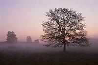Europe/France/Limousin/Corrèze/Plateau de Millevaches :Arbre à l'aube dans la lande