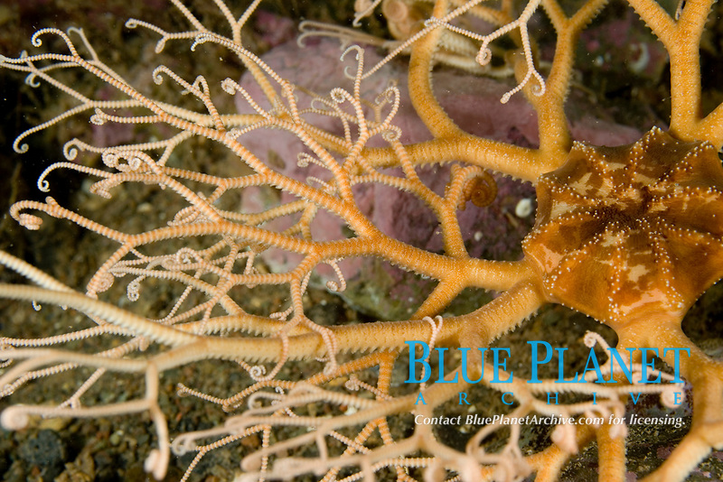 Northern Basket sea star, Gorgonocephalus arcticus, Atlantic, USA, Maine, feeding, A Northern Basket star is open to feed on plankton when the current is not running too strongly. Echinoderm
