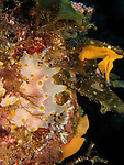 Orchid Island, Taiwan -- Nudibranch, Halgerda batangas, with its egg ribbons visible in the background.