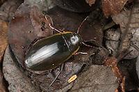 Gelbrandkäfer, Männchen, Dytiscus dimidiatus, Diving Beetle, Thick-horned Dytiscus, male