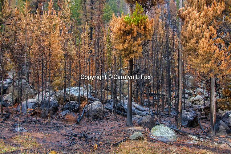 Fire destroyed a lot of tree in Yellowstone National Park in 2016.