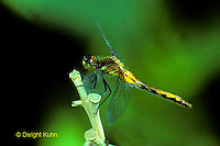 1O05-018z  Skimmer Dragonfly - White-faced Meadowhawk female - Sympetrum obtrusum