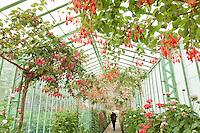 Belgique, Bruxelles, Laeken, le domaine royale du château de Laeken, les serres de Laeken durant la période d'ouverture au public au printemps. Serre galerie plantée de fuchsias arbustifs conduit pour fleurir sous le plafond de la serre // Belgique, Bruxelles, Laeken, the royal castle domain, the greenhouses of Laeken in spring. Long greenhouses with large Fuchsia.