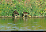 Canada Geese and Goslings Foraging, Sepulveda Wildlife Refuge, Southern California